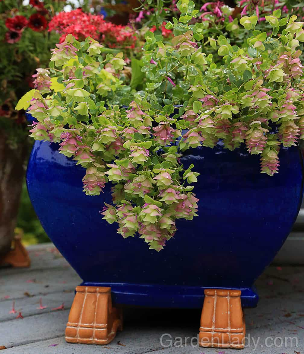 Once you have fragrance, taste and hummingbirds covered, go for beauty. I love how Oregano 'Kent Beauty' looks in a container or as garnish in a glass.
