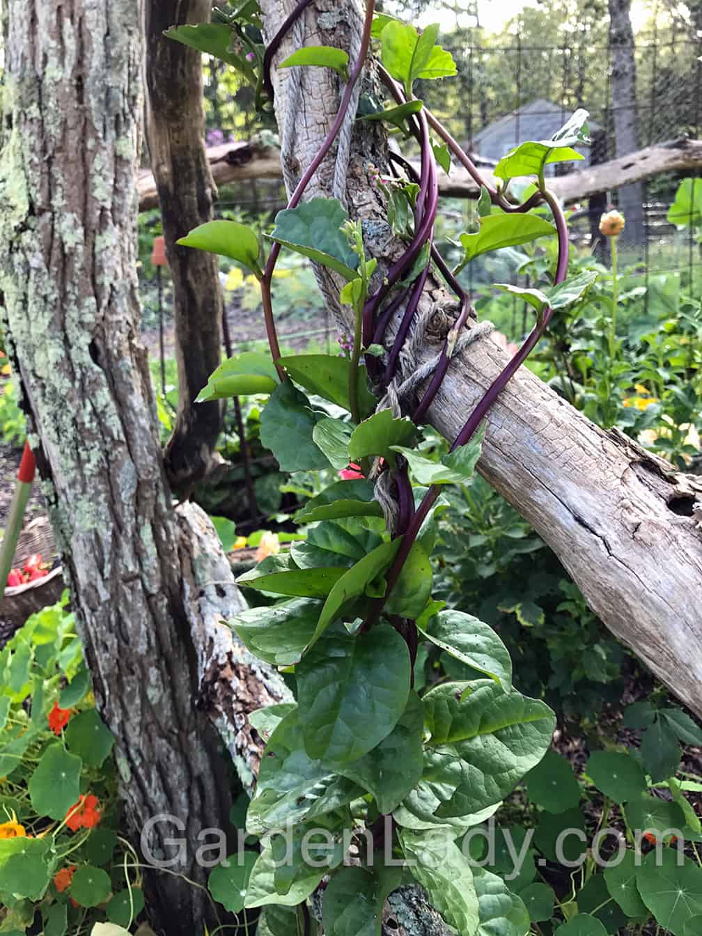 A Small Vine For The Edible Landscape