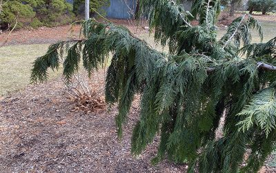 I Love the Weeping Alaska Cedar