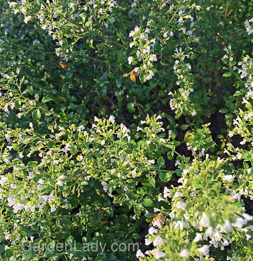 The honey bees love Calamintha! They, along with bumble bees and several other species of bee work this plant from sunup to sundown.