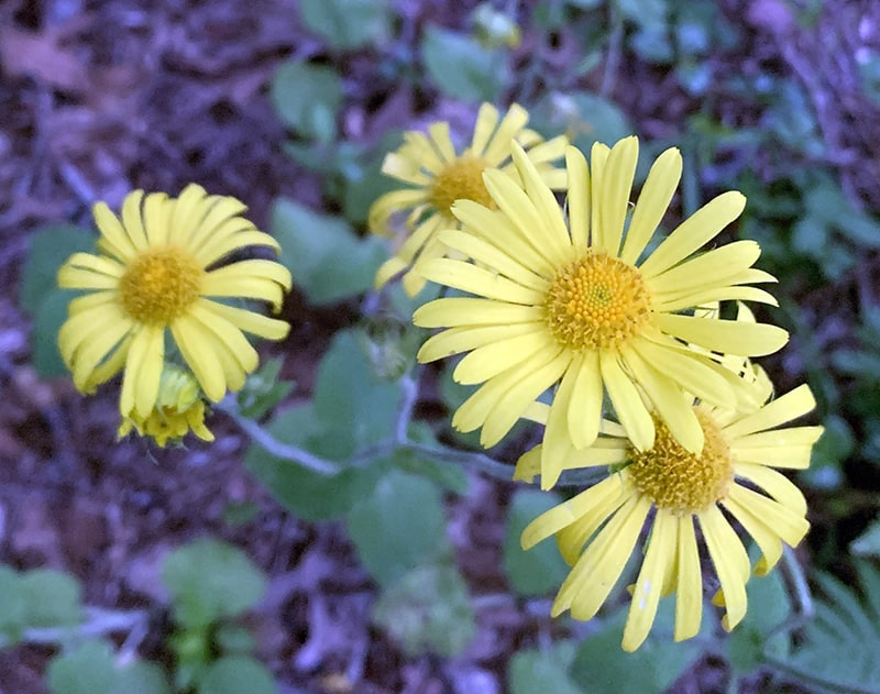 Yellow daisies grow about two feet above the ground on this perennial.