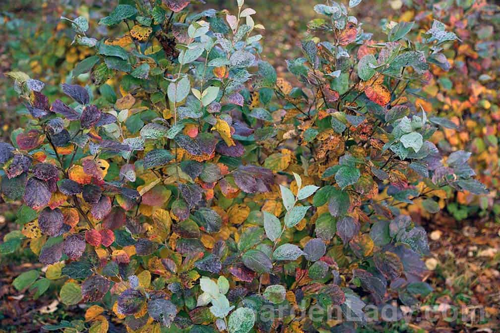 This photo shows the range of colors found in Blue Shadow's leaves. The power-blue is the color of the foliage all summer. In the fall, yellows, reds and purple combine to provide a rich tapestry of colors in your garden.