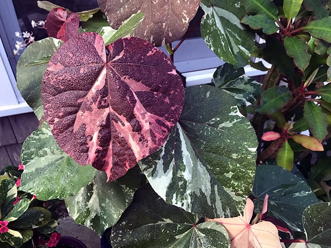 Plants and Morning Coffee: Variegated Sea Hibiscus