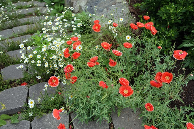 How Can You NOT Love Papaver rhoeas – The Red Common Poppy?