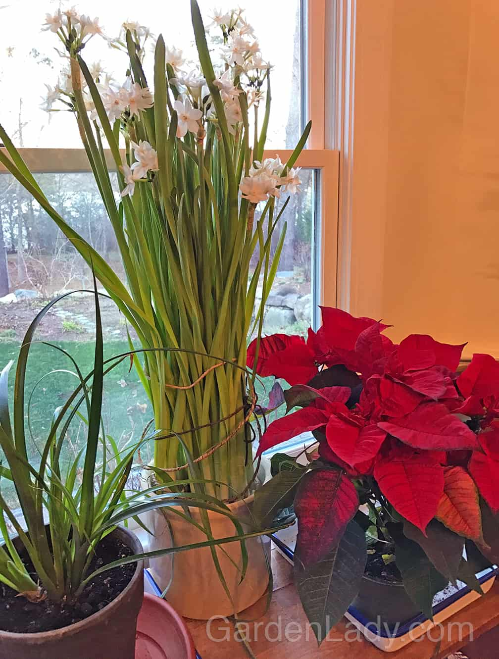 Put a Poinsettia in with your other, green houseplants and you have instant drama.