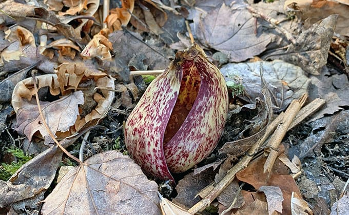 I Love Skunk Cabbage and You Should Too