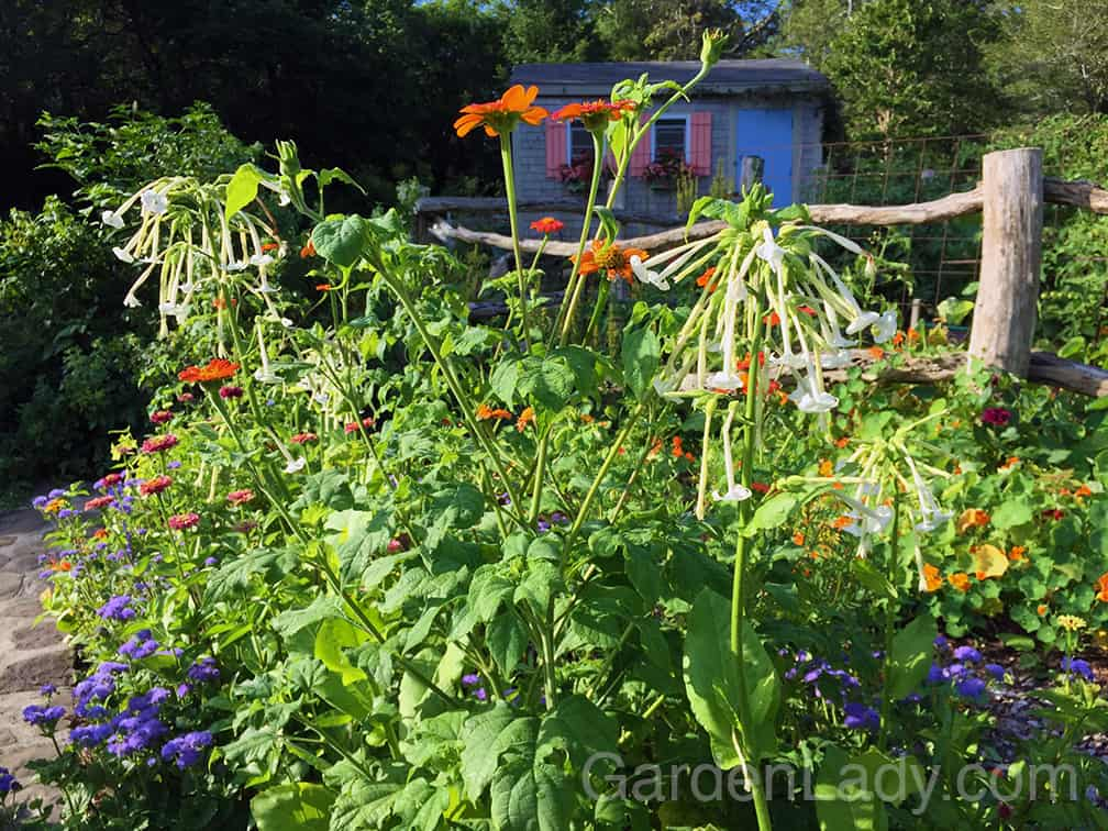 Here is how I planted Tithonia in my Annual Alley this year. It keeps up with the Nicotiana (Only the Lonely) and towers above the Zinnia, Ageratum, marigolds and Salvia.