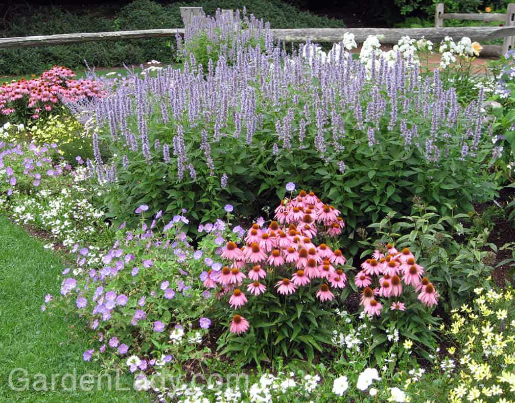 'Blue Fortune' comes into flower in July so it combines well with Echinacea (purple cone flower) and Coreopsis.