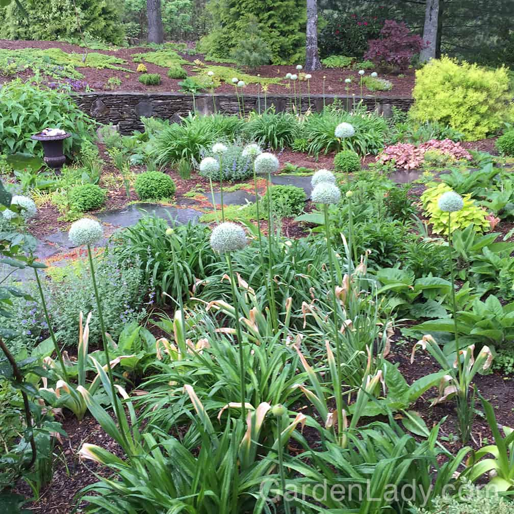 """You can see the problem from this angle in my garden. Standing on my front porch and looking down from the """"backside"""" of this garden, the declining foliage of these bulbs is clearly visible."""