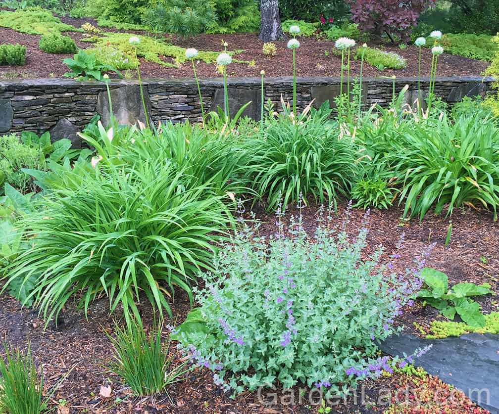 From this angle the daylilies hide the browning Allium foliage. Perfect.
