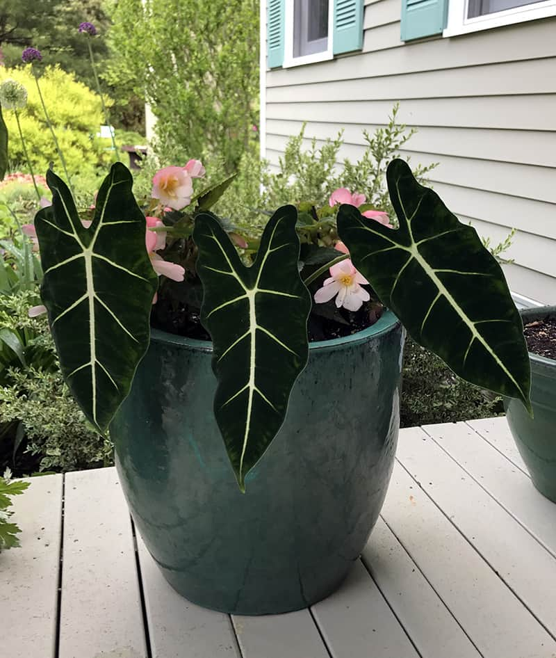 I Love Alocasia varieties