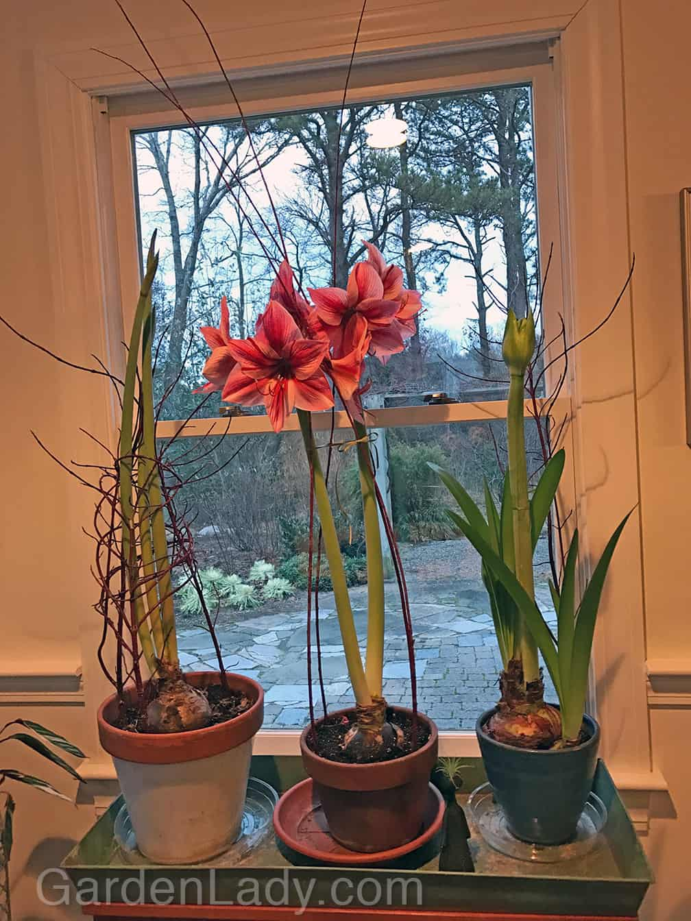Twig Supports for Amaryllis Blooms