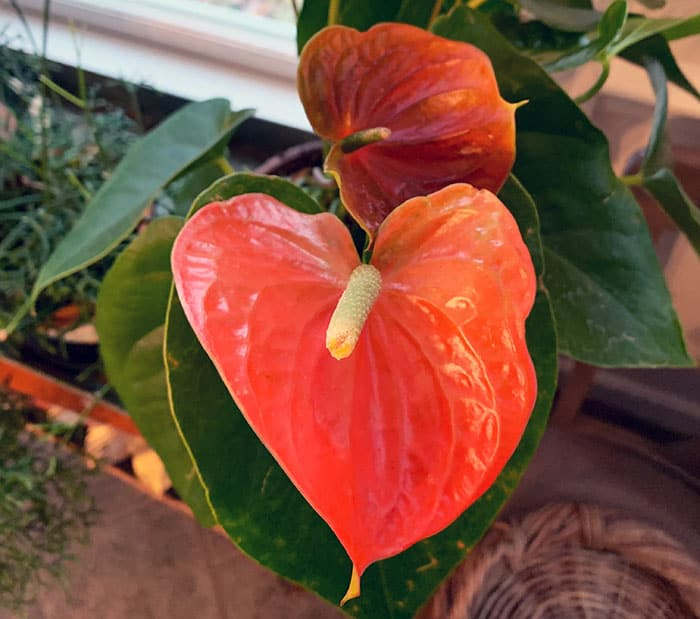 How To Grow Anthuriums Indoors