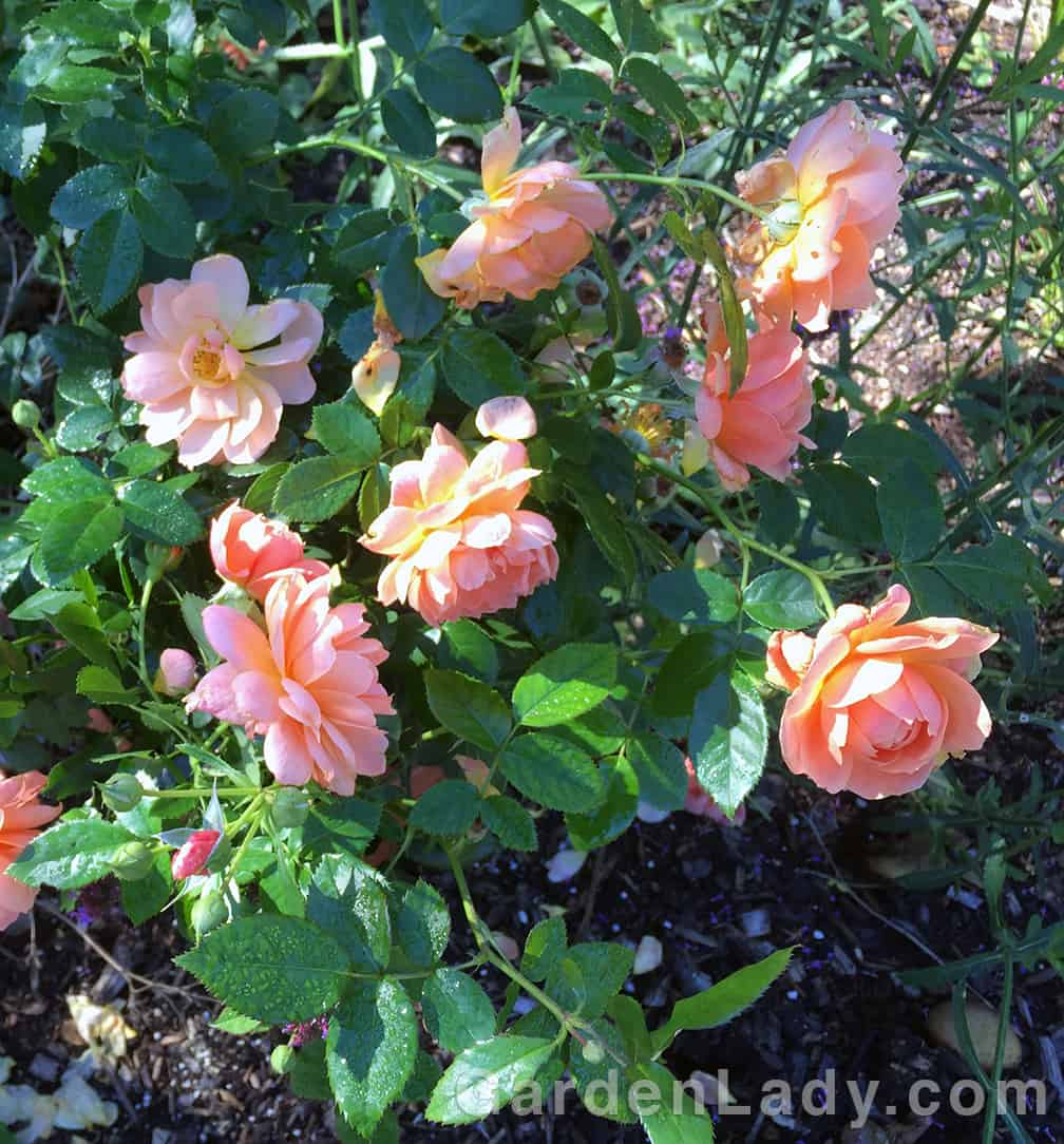 Peachy-salmon flowers...some sites call them orange but I beg to differ! Not that orange would be bad, but these are a bit softer of hue...