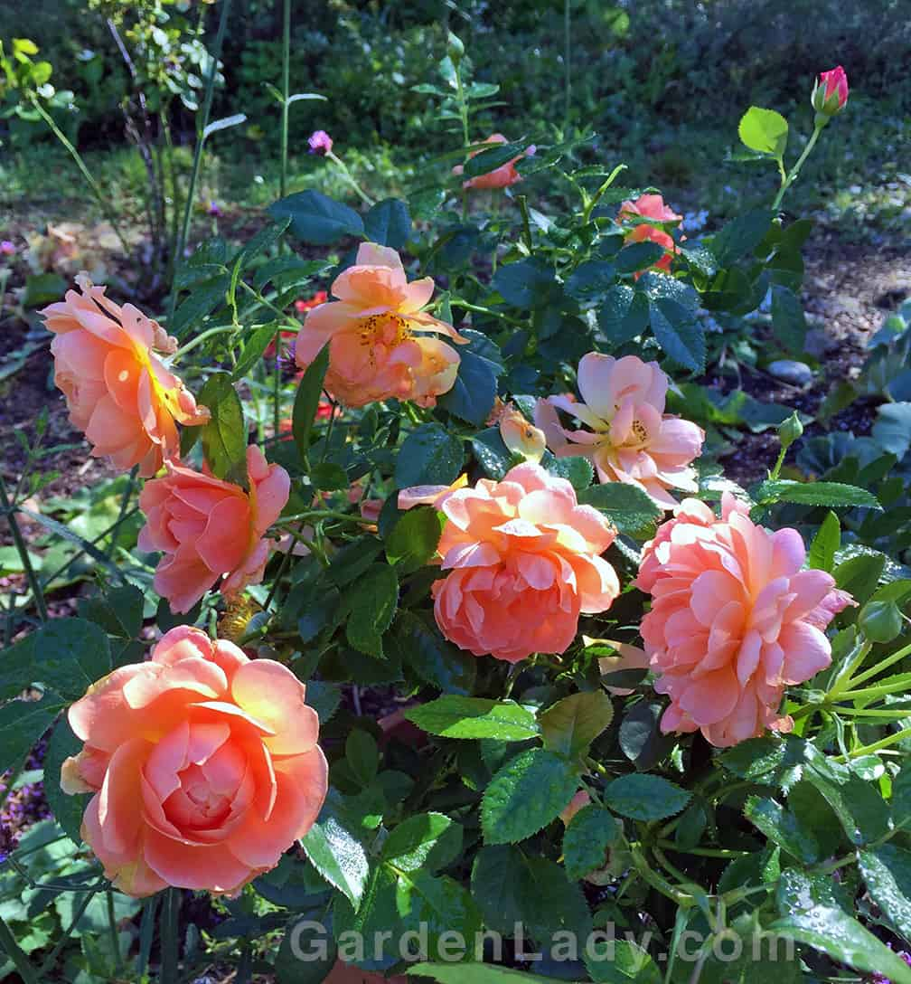 The At Last shrub rose grows about three feet high and wide.