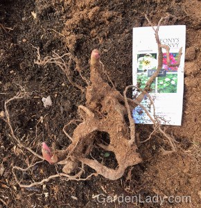 Here is how the bare root looked once I shook the peat off. I didn't leave the label there - I just placed it under the root so you could see the pictures that came with the plant. One of the wonderful things about this ground-cover peony is the colorful seeds it produces later in the season. I can hardly wait!