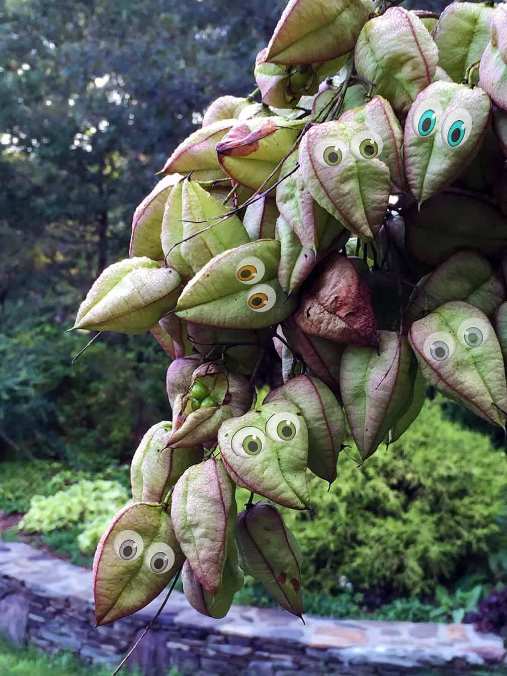 The pods just beg to have googly eyes added in Photoshop. Do you ever feel like you're being watched in the garden?