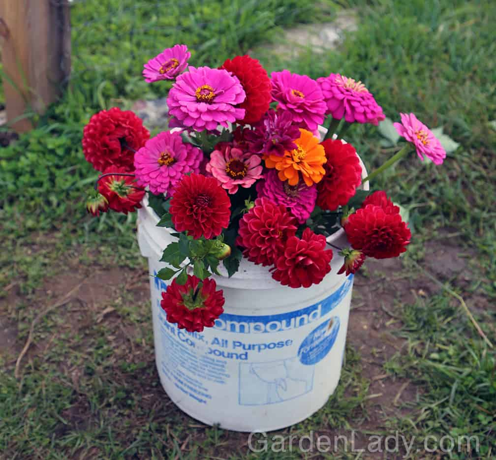 If you grow zinnias from seed you'll have enough flowers for any fiesta or celebration. Inexpensively too!