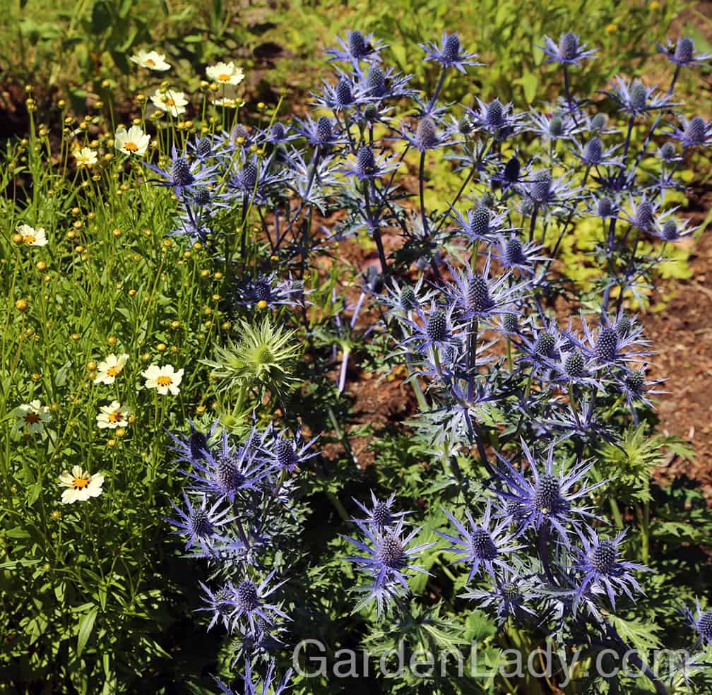 This plant is perfect with other perennials that like sun and good drainage. Coreopsis, as seen here, is perfect. Daylilies and Russian sage are also good companions.