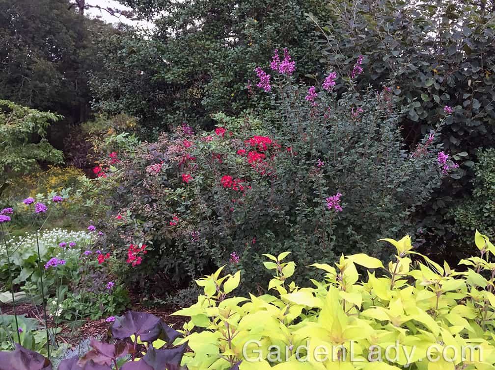 Now, at the very end of September, here is that same shrub in my fragrance garden. Are the flowers a bit smaller? Yes. Are they also darker in color? Yes. Are they just as welcomed? Maybe more.