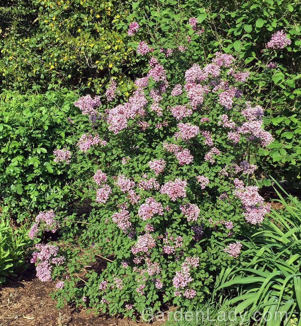 Here is how my Bloomerang lilac looked in mid-May.