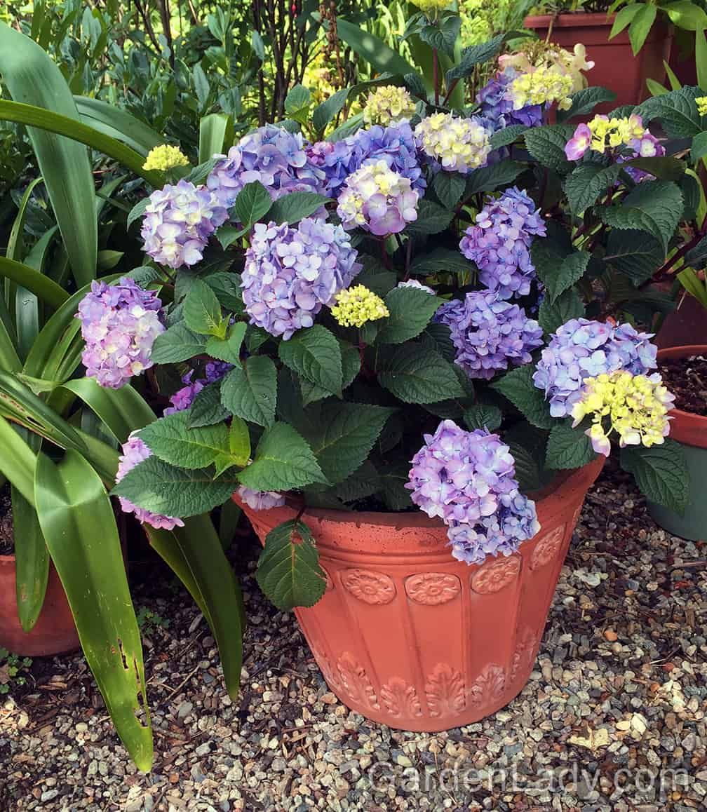 This BloomStruck hydrangea is in a foam pot that's made to look like terra-cotta.
