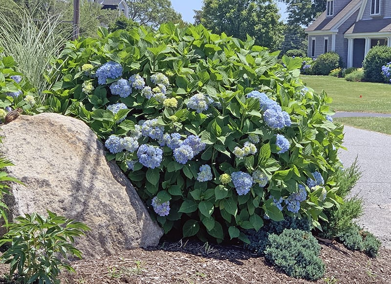 hydrangea that has been partly cut down in the fall or spring has fewer flowers