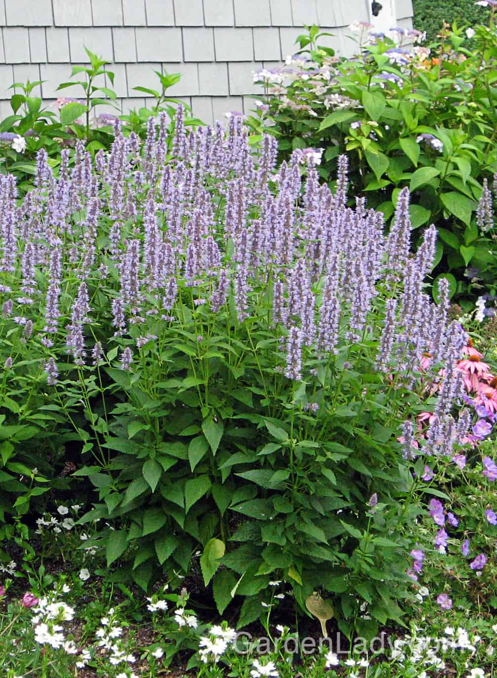 The deer and bunnies don't usually bother 'Blue Fortune' and the foliage has a minty fragrance.
