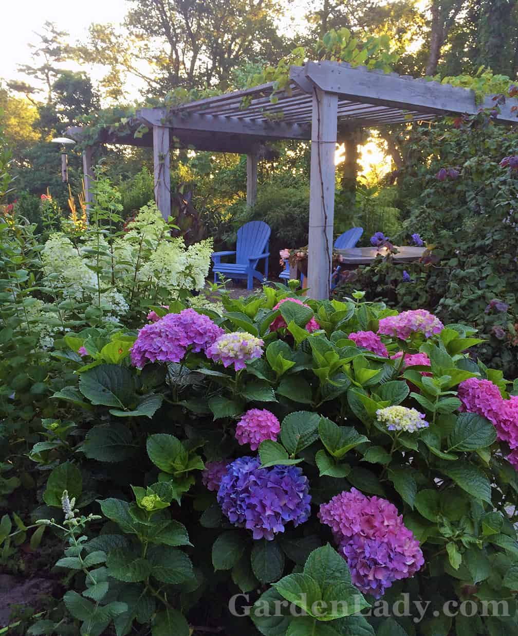 This is my side yard where the driveway ends. This pink/blue Hydrangea macrophylla (unknown variety - it was one of the 3 hydrangeas that came with our house) had a space next to it and I tucked the pot with Bobo in it there for most of the summer.