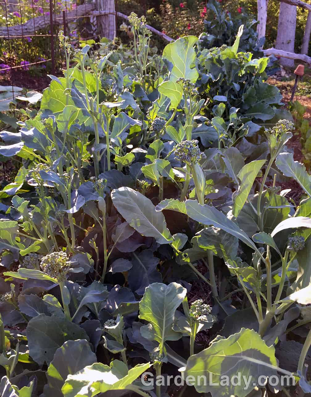 Don't let these develop into yellow flowers or the plant will slow down in the production of these tasty broccoli shoots.