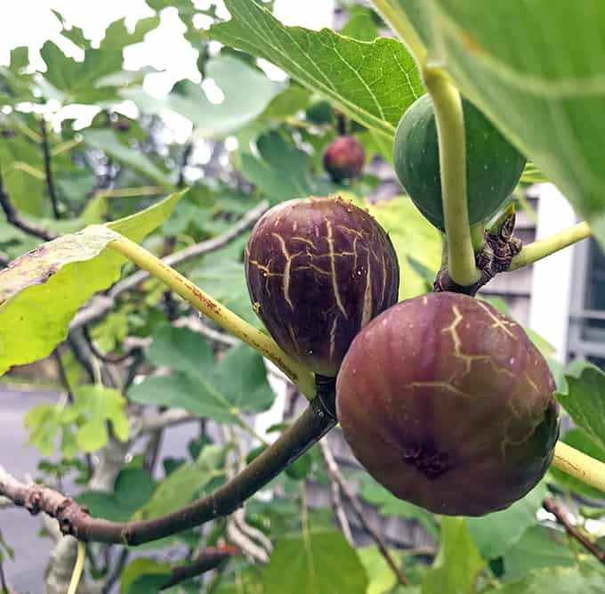 I Love The Brown Turkey Fig