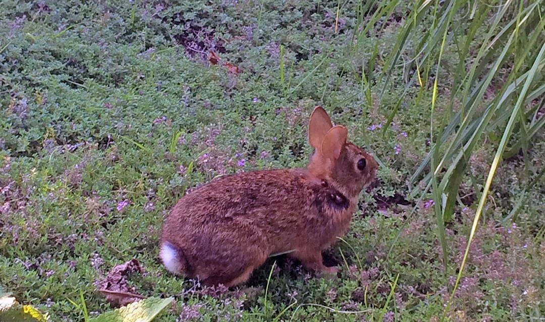 GardenLady.com | Homemade Rabbit Repellent