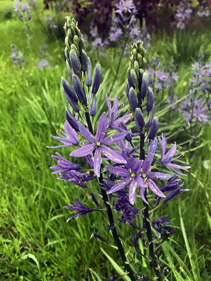 An Easy, Tall Blue Flower For Late Spring: Camassia