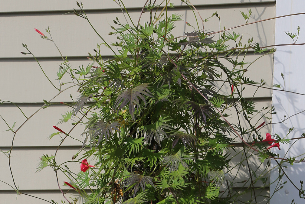 This photo - taken in August, shows that sometimes the flowering of cardinal creeper can be sparse. But the hummingbirds find these flowers quickly and don't seem to care that there aren't hundreds of them. If you grow this in a larger container or the ground you'll have more flowers, in my experience.