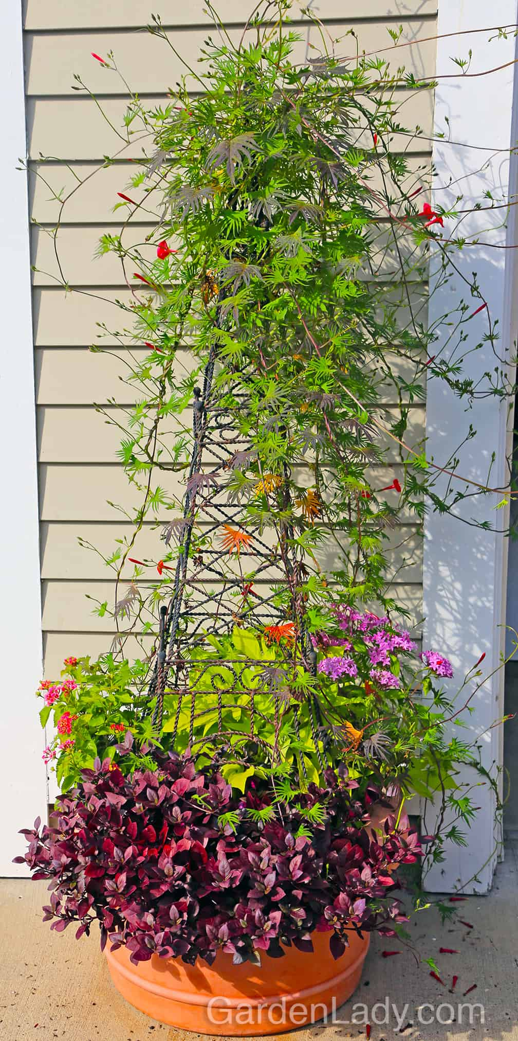 This photo shows that Ipomoea x multifida is a perfect plant for small structures. This wire tower was about four feet high and here is how the planter looked in August.