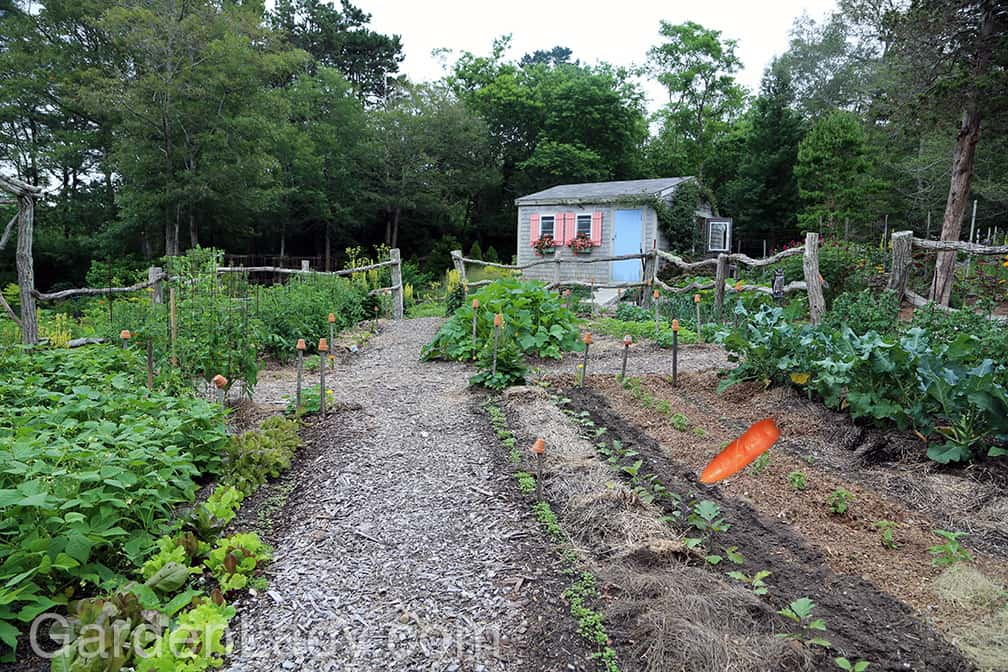 Here is the garden on July 9th. We harvested garlic early this past summer, so by July 9 we'd placed eggplants in and sowed carrot seeds. The carrot, placed here with Photoshop, points to the row where the carrot seeds have been planted.