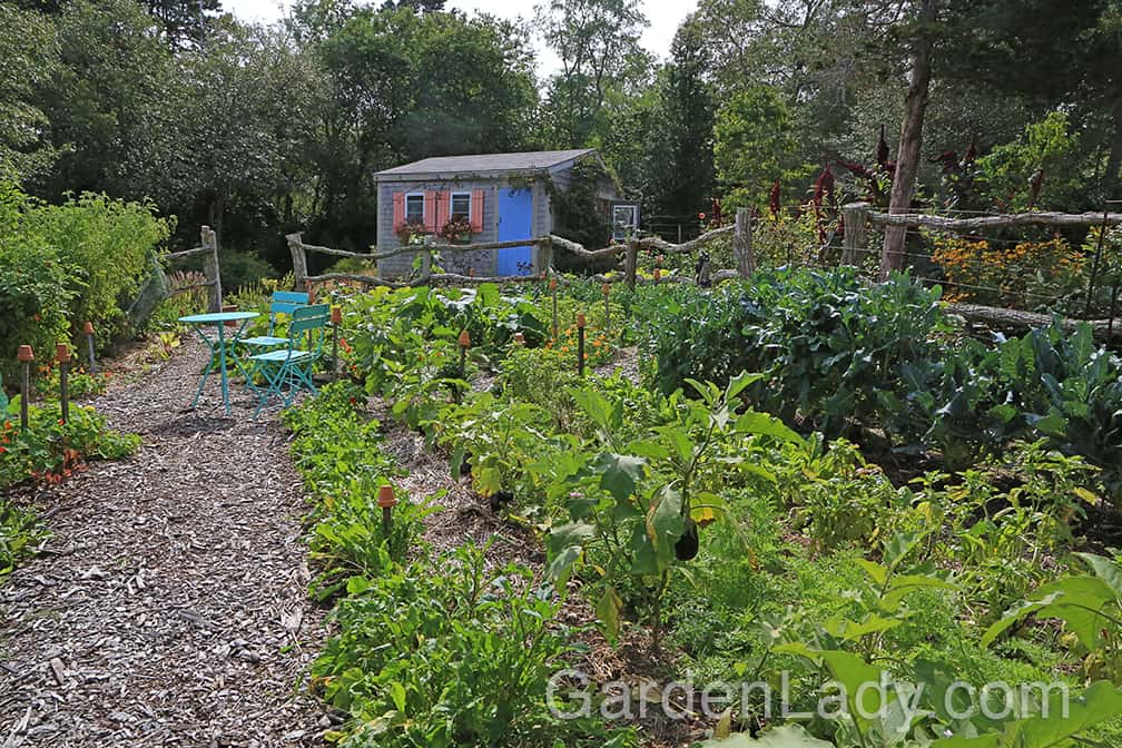 Here is that same part of the garden in late September. You can see that just on the other side of the eggplants a thick row of carrot foliage. We started pulling carrots in early October.