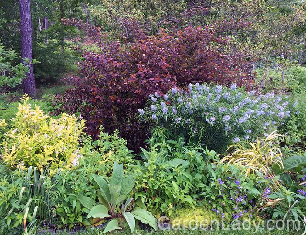 See what a lovely, colorful shrub does as a background for a perennial garden.
