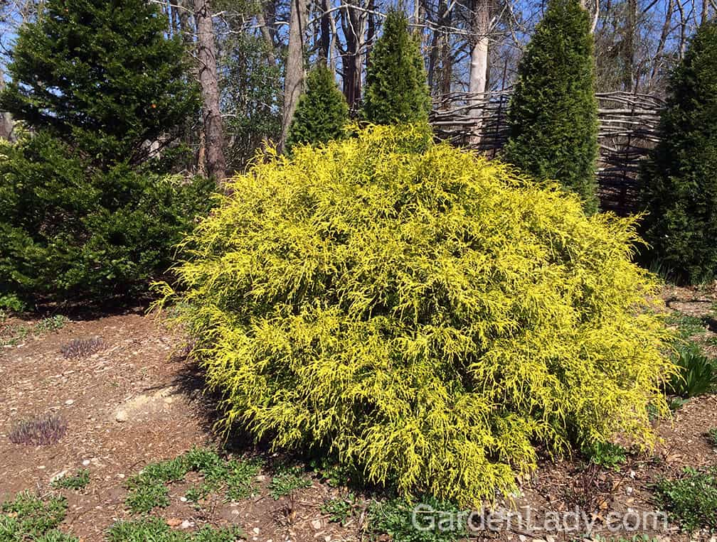 Plant a Golden Mop where you want color and texture, especially when it's near other shrubs that have dark green foliage.