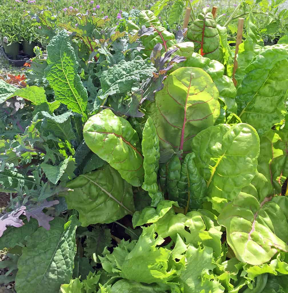 Chard: Many Reasons to Love
