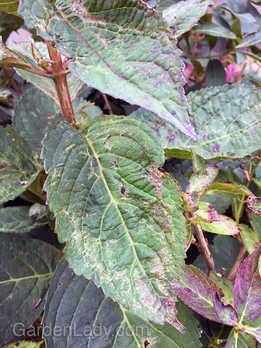 GardenLady com | What is Wrong With My Hydrangea Leaves?