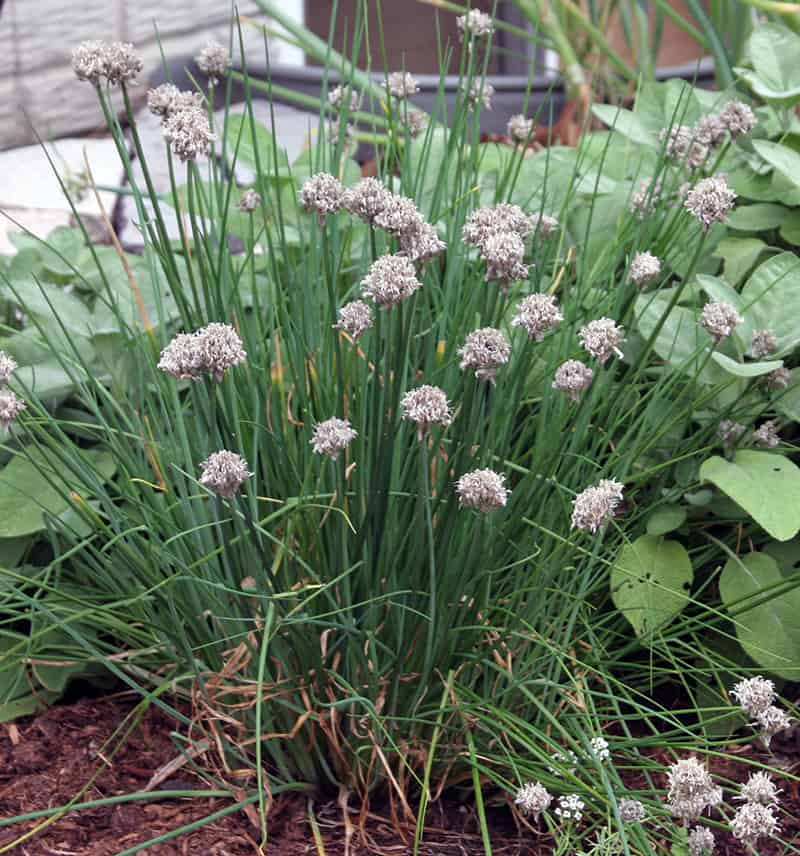 spent flowers on chives, gray in color and needing to be cut off
