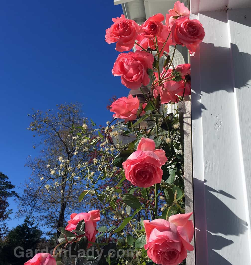 When I pull into my driveway every evening I'm greeted with these roses...even today on November 18th!