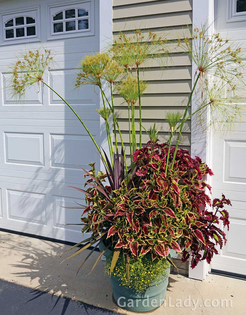 Need a dramatic container? Mix three or more varieties of coleus together. They mingled well with a purple leaf Dracenea and a King Tut Papyrus.
