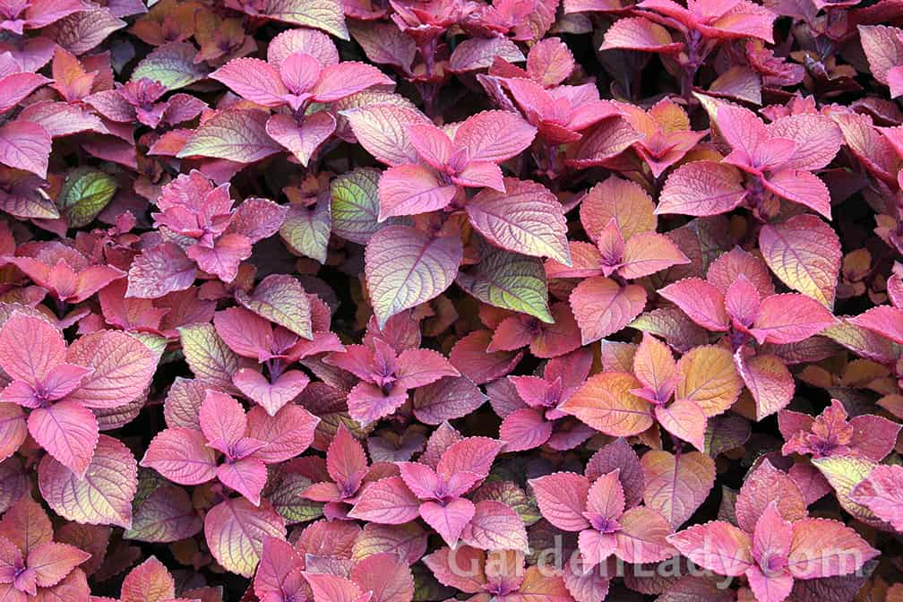 New colors of coleus are being introduced frequently!