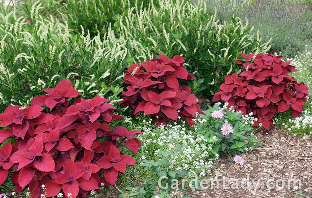 Here the variety called 'Red Head' is growing in almost full sun - this variety is self-branching and creates full, rounded plants all on its own.