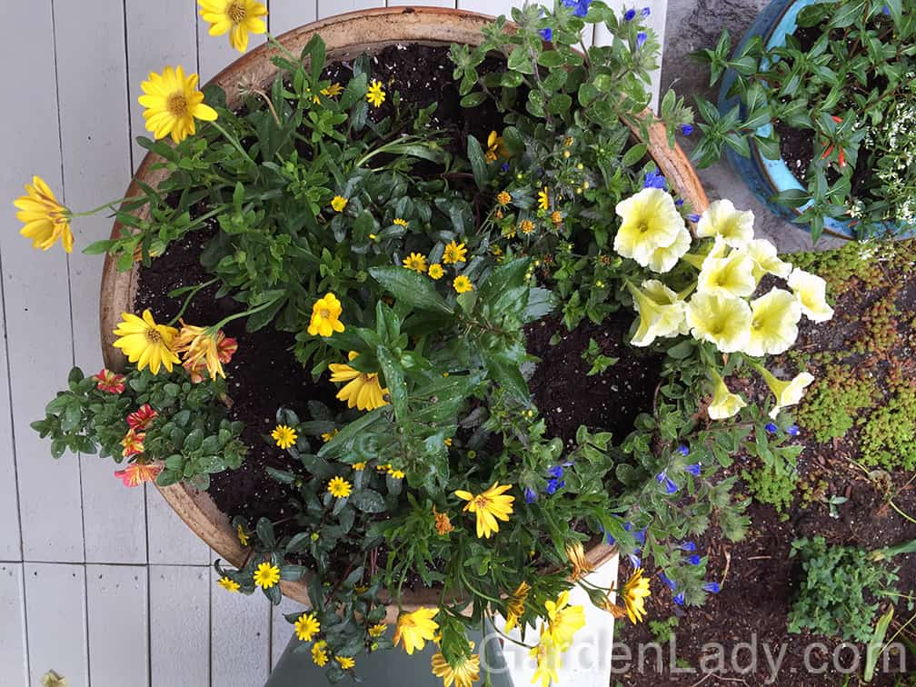 This pot contains three plants that repeat a yellow color with different size flowers, along with a