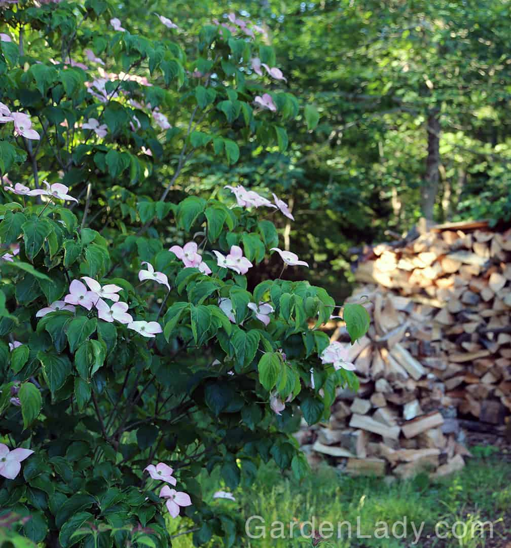 These dogwoods aren't especially fast growing - perfect for the smaller yard and garden.