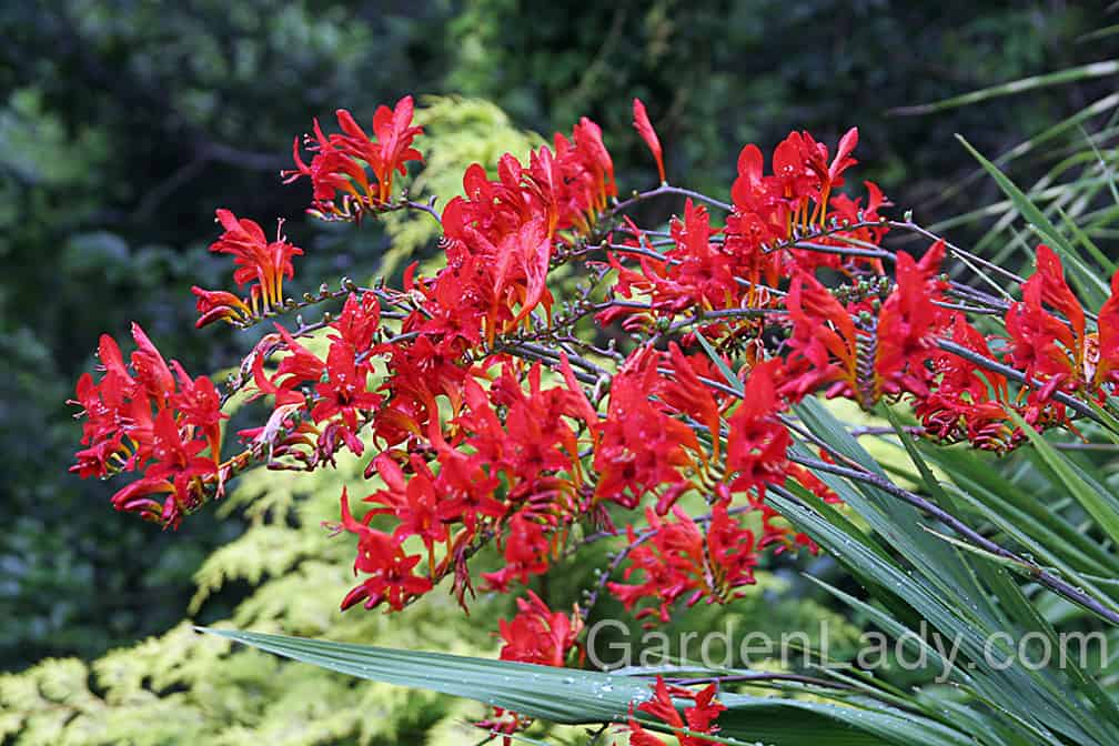 If you can plant Crocosmia 'Lucifer' with a shrub or perennial with yellow foliage, you've got a lovely combination.