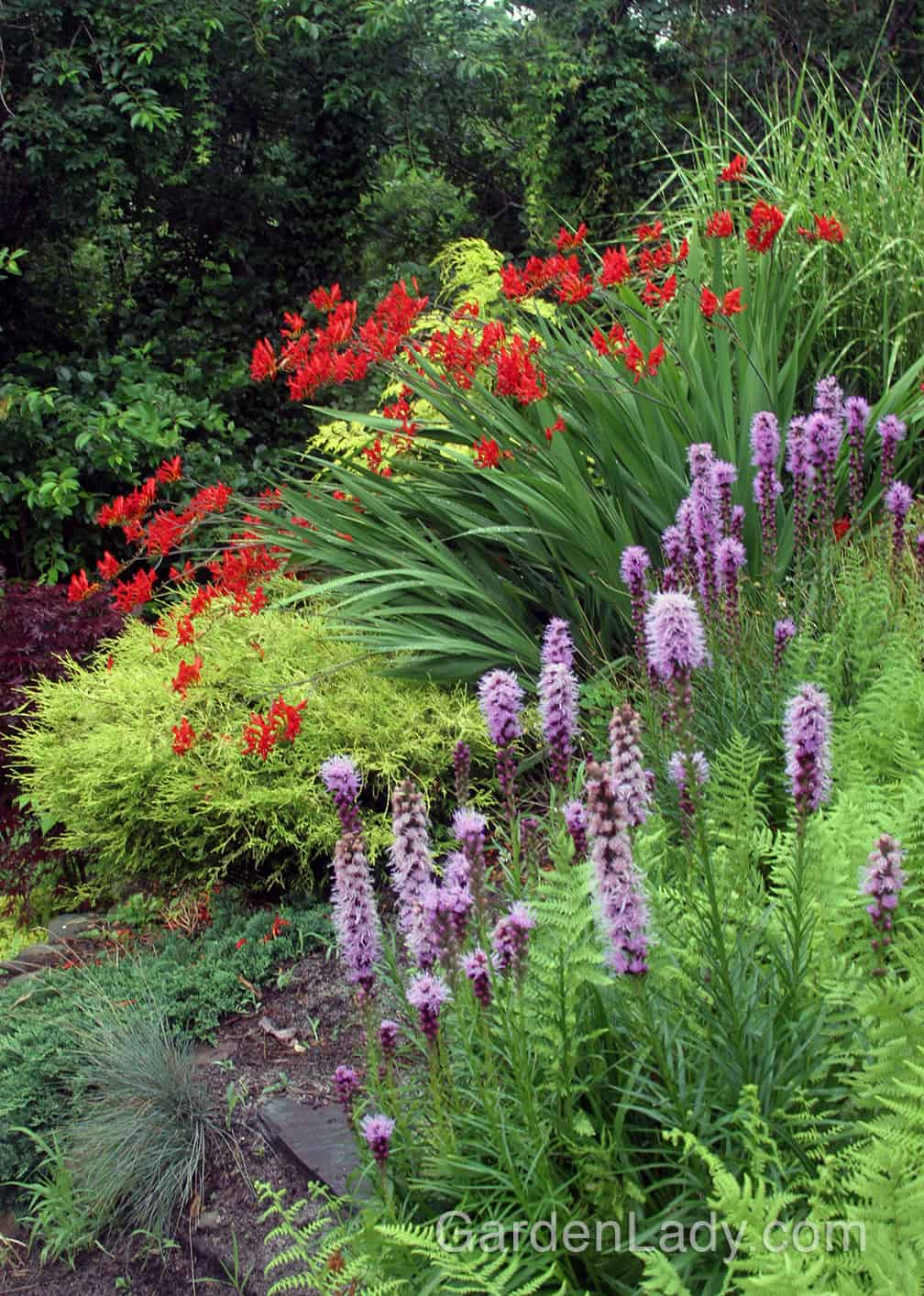 The bright red 'Lucifer' flowers are a natural with yellows and purples. In this planting the Liatris is in flower at the same time, making a winning garden combo.